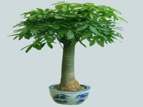 直杆发财树